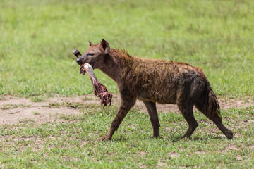 hyena with bone