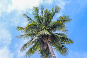 Coconut or palm tree and vivid blue sky with clouds on background
