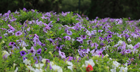 beautiful purple flowers in the garden