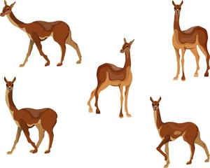South American animal vicuna in deffferent poses vector set. Isolated illustration