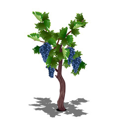 grape bush with berries and leaves