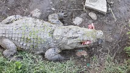 Wall Mural - Crocodile eating