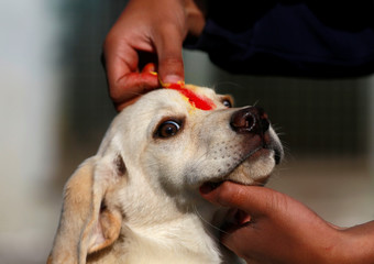 """A puppy is offered a """"Sindoor"""" vermillion powder on his forehead during the dog festival as part of Tihar, celebrations also called Diwali, in Kathmandu"""