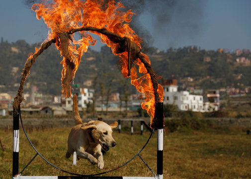 A dog belonging to the Armed Police Force jumps through the ring of fire while performing a trick during the dog festival as part of Tihar, celebrations also called Diwali, in Kathmandu