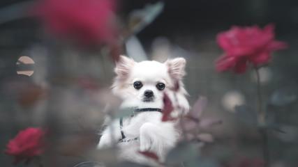 チワワと薔薇