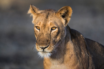 West African Lioness