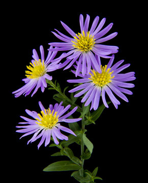 alpine aster isolated on black background