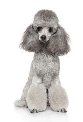 Young groomed poodle