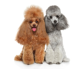 Wall Mural - Two groomed Toy Poodles together