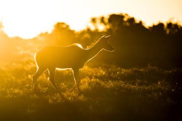 Kudu cow at sunset