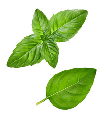 Fresh basil leaves close up isolated on white background