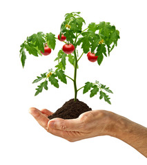 Tomato plant with soil in hand isolated on white background