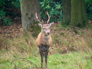 A young stag walks out of the woods