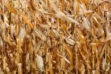 Plantas de maíz secas con mazorcas.