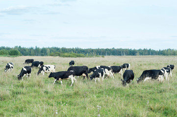 A herd of farm cows graze on the green grass meadows. The concept of breed and production of quality dairy products