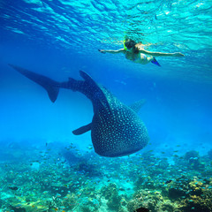 Snorkeling with whale shark.