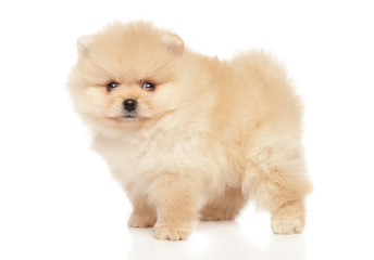 Wall Mural - Tiny Spitz puppy in stand on white background