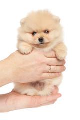 Spitz puppy puppy in hands on white background