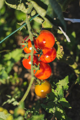 Bunch of tomatoes on plant