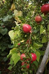 Ripe pomegranates on tree