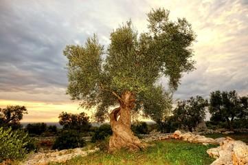 Photo sur Toile Oliviers Olivenbaum in der Abendsonne