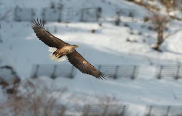 Adult White-tailed eagle in flight. Mountain background. Scientific name: Haliaeetus albicilla, also known as the ern, erne, gray eagle, Eurasian sea eagle and white-tailed sea-eagle. Natural Habitat.