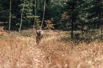 Weimaraner runs throw the deep forest in nature reserve in Czech Republic.  Wild protected land is  allowing us to be more wild than we usually are. Moments in nature.
