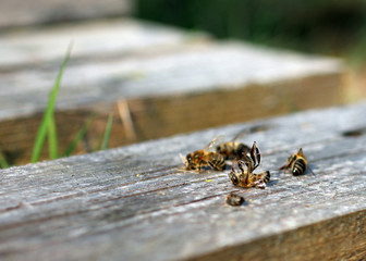 Tote Bienen auf dem Rücken vor Bienenvolk