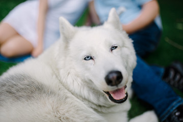 A mature Siberian husky female dog is lying down on grass near yellow flowers. A bitch has grey and white fur and blue eyes. There are some dandelions around her.