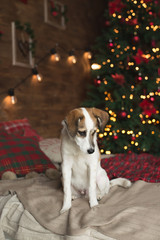 Beautiful puppy posing on a bed near a Christmas tree, holiday concept