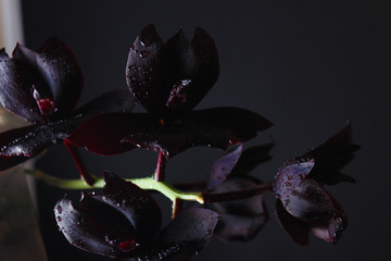 Photo sur Plexiglas Orchidée orchid flower dark burgundy black