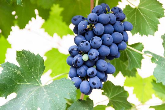 grape bunch, very shallow focus beautiful summer