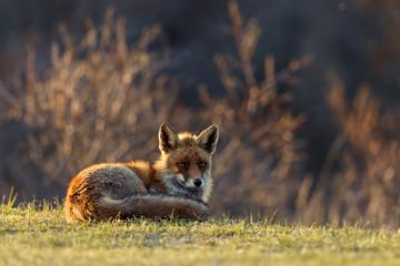 Rest Fox sitting