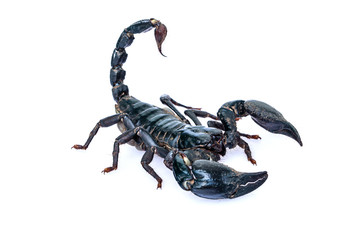 The black scorpion isolated on white background.