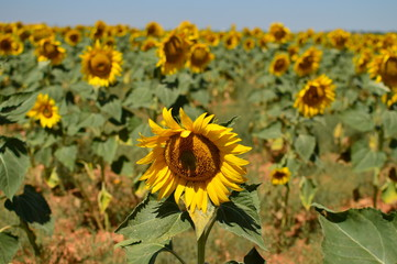 Portrait Of A Sunflower Looking At The Sun With Many More Sunflowers Behind. Nature, Plants, Food Ingredients, Landscapes. August 7, 2018. Valladolid Castilla Leon Spain.