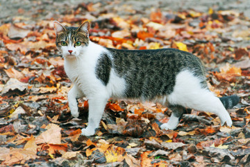 A large striped cat walks on the fallen autumn leaves.