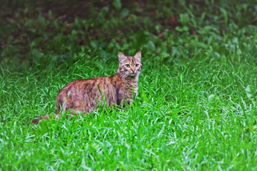 A large tabby cat surrounded by lush green grass.