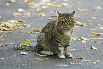 Big striped cat sitting on an asphalt road among the fallen leaves.