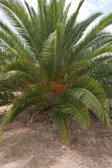 View of Phoenix dactylifera palm