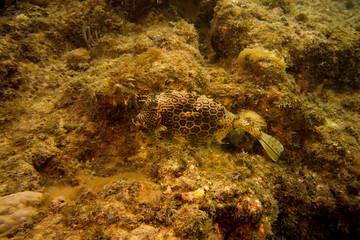 Honeycomb Cowfish on reef