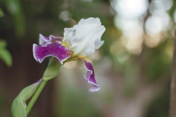 purple narcis flower
