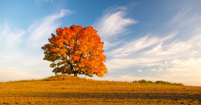 lonely tree in the field in fiery autumn colors