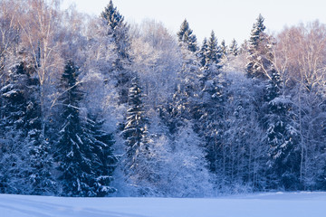 Russian winter background with tree branches in snow, selective focus