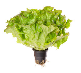 Batavia Red, living salad over white. Young summer crisp lettuce in plastic pot with roots. Reddish green loose leaf lettuce head with crinkled leafs and wavy leaf margin. Lactuca sativa. Macro photo.