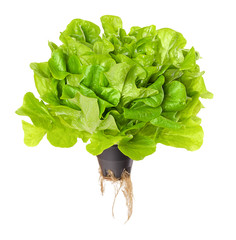 Salanova Green, living salad over white. Oak leaf lettuce in plastic pot with roots. One cut ready, loose leaf lettuce, linear, lobed and loosely serrated. Lactuca sativa variety. Macro food photo.