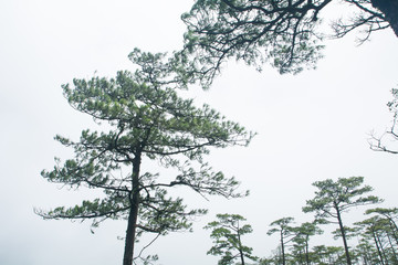 """Pine trees on the """"PHU-SOI-DAO"""" mountains in THAILAND"""