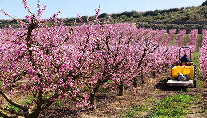 Blossoming of  peach  trees with worker at agrimotor  of Europe
