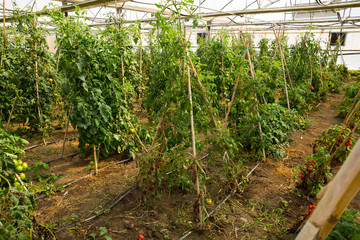 Seedlings and tomatoes growing on branch in greenhouse
