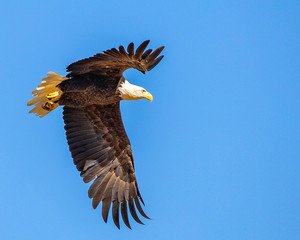 Fototapete - Bald Eagle in Flight