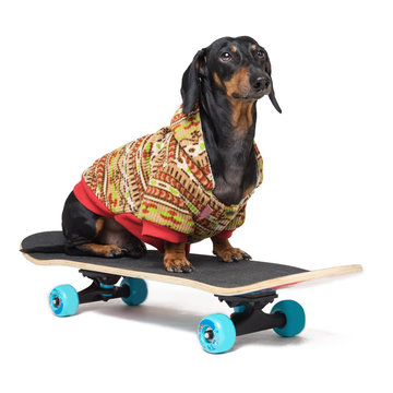 dog breed Dachshund, black and tan, sits on skateboard,dressed in a color sweater, isolated on white background. Skateboarding dog.